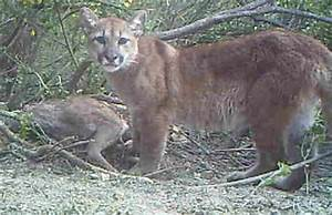 Southern California mountain lions' gene pool is running ...