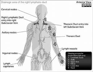 Diagram Of Lymphatic System Showing Lymph Capillaries  Lymph Vessels