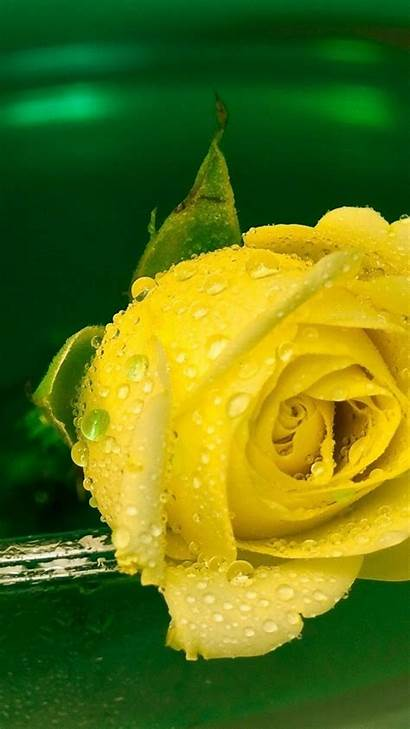 Yellow Water Rose Drops Flowers Mobile
