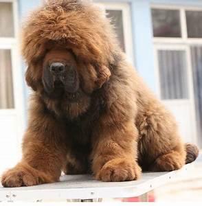 Tibetan Mastiff Puppies Sold - 5 Years 3 Months, PF48498 ...