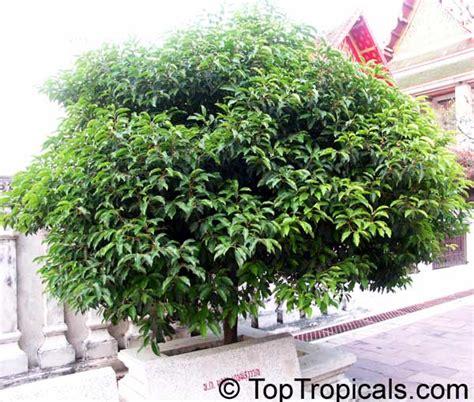 mimusops elengi spanish cherry bakul tree toptropicalscom
