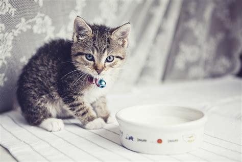 cats  drink milk howstuffworks