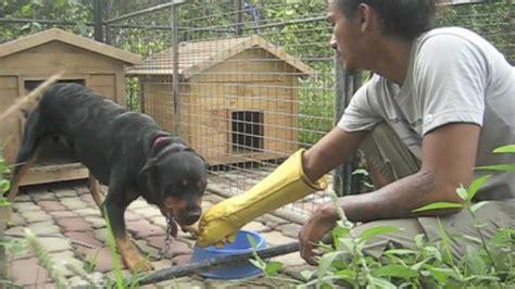 bite gloves testing   food aggressive rottweiler