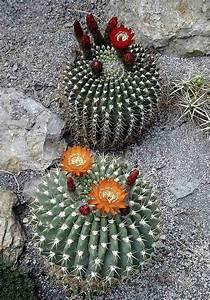 lobivia bruchii kaktus blume kaktus kakteen und