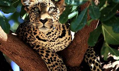 Geographic National Leopard Desktop Kenya Tree Widescreen