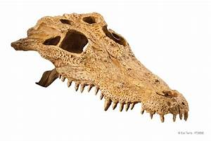 Exo Terra : Crocodile Skull / Secure hiding place