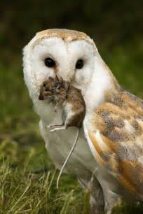 Barn Owl Eating Mouse