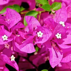 Blumen Für Sonnigen Standort : bougainvillea drillingsblume standort pflege d ngen ~ Michelbontemps.com Haus und Dekorationen