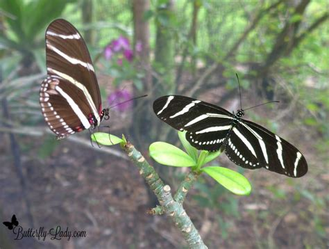 zebra longwing heliconius charithonia butterfly lady