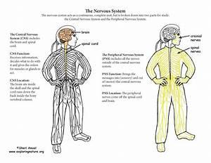 Nervous System Parts
