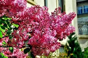 Wann Blüht Flieder : grasgefl ster wenn der wei e flieder wieder darf es ~ Lizthompson.info Haus und Dekorationen