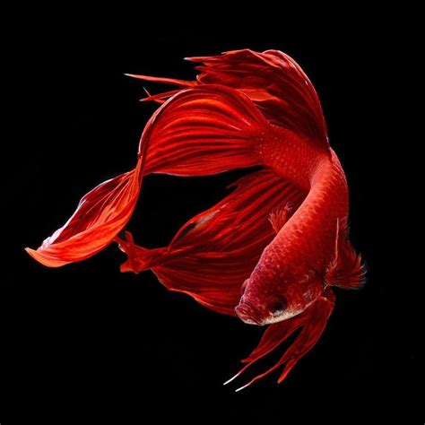 ikan cupang beta wallpapers  android apk