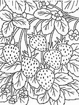 Strawberry Coloring Pages Berries Print Fruits Recommended sketch template