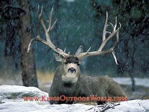 Related Keywords & Suggestions for monster mule deer wallpaper