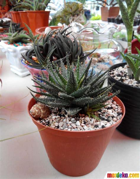foto cantiknya tanaman hias mini merdekacom