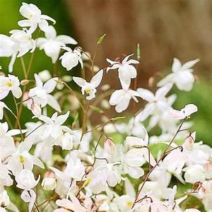 Weiße Stauden Mehrjährig : wei e elfenblume online kaufen bei g rtner p tschke ~ Eleganceandgraceweddings.com Haus und Dekorationen