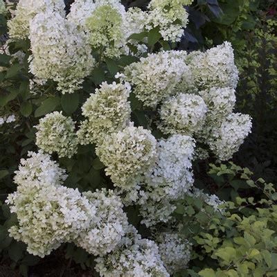 pruning incrediball hydrangea bobo hydrangea spring hill nurseries