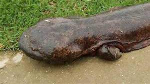 GIANT SALAMANDER EMERGES FROM RIVER IN JAPAN | Doovi