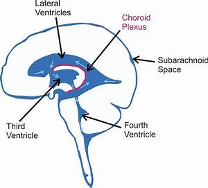 2 Diagram Showing The Ventricles Of The Brain  After Being