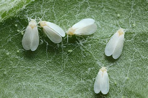 moucheron dans la maison insectes et maladies des plantes de cannabis du growshop alchimia