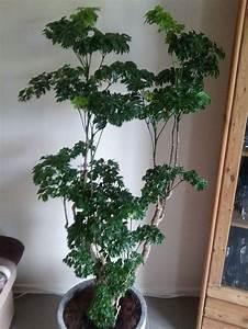 Zimmerpflanze Für Badezimmer : die besten 25 gro e zimmerpflanzen ideen auf pinterest tropische zimmerpflanzen gro e ~ Sanjose-hotels-ca.com Haus und Dekorationen