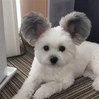 Mickey Ears Mouse Dog Puppies Maltese Tiny