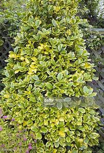 Ilex Golden King : variegated holly tree ilex 39 golden king 39 june variegated holly pinterest holly tree ~ Frokenaadalensverden.com Haus und Dekorationen