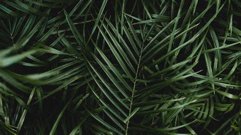 palm leaves branches wallpaper