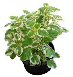 Balkonpflanzen Gegen Mücken by Pflanzen Gegen Stechm 252 Cken