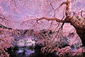 Come fiori di ciliegio