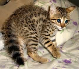 savanna cats cats