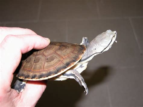 sideneck turtle cbb argentine side neck turtles go lizards