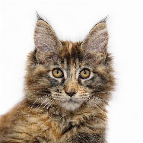 Maine Coon History  Maine Coon Kittens