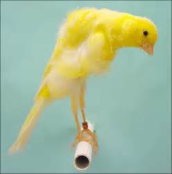 Southern Dutch Frill Canary
