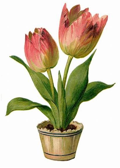 Pink Tulips Clip Clipart Pretty Fairy Tulip