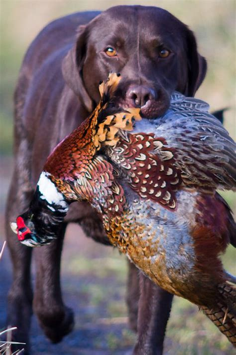 hunting dogs ideas  pinterest