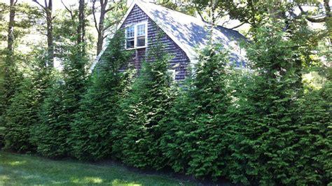 evergreen shrubs  privacy zone   grow