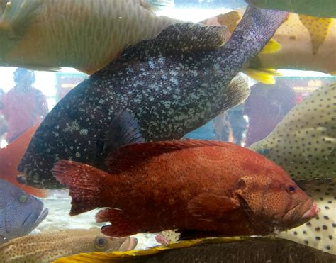 grouper hong kong musings displaced once popular very