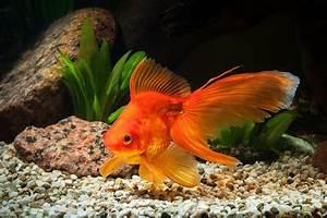 Fantail Goldfish Breed Information