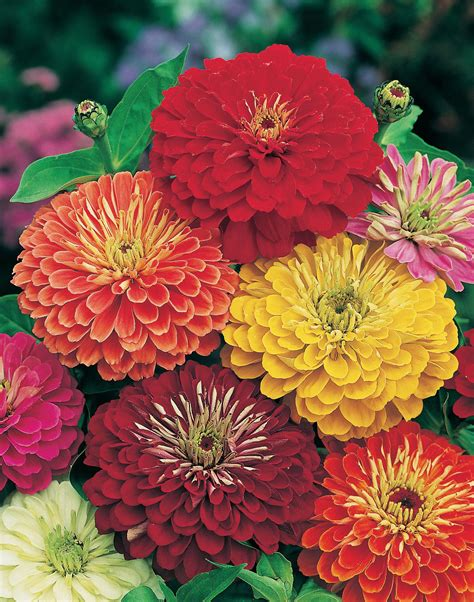 pics of zinnias zinnia is longest lasting cut flower amateur gardening