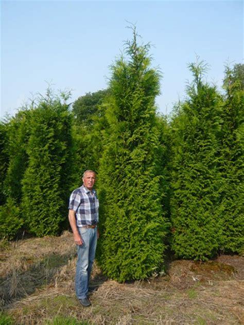 Smaragd Oder Brabant by Lebensbaum Brabant Thuja Occidentalis Brabant 350 400 Cm