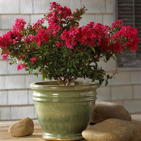 miniature crape myrtles make hanging baskets the crape myrtle company
