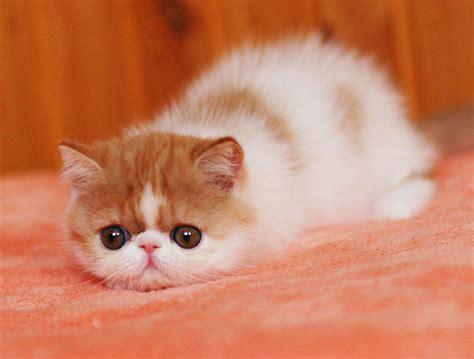 Jual Kucing Munchkin  Hewan Indonesia Dan Jual Beli