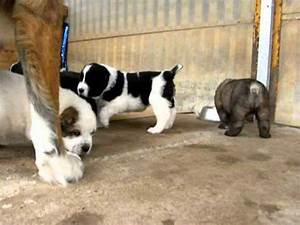 Gruodas central asian ovcharka puppies are playing - YouTube