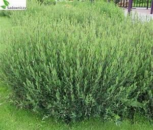 Salix Purpurea Nana Schneiden : purpur weide salix purpurea gracilis 39 pflanzen enzyklop die ~ Markanthonyermac.com Haus und Dekorationen