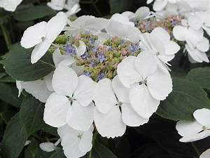 Hydrangea Macrophylla Winterhart : hydrangea macrophylla 39 bachstelze 39 macrophylla ~ Michelbontemps.com Haus und Dekorationen
