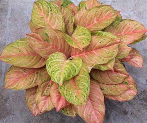 jenis tanaman hias aglaonema populer beserta harganya