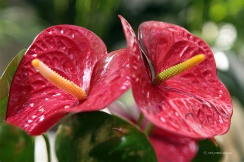 Zimmerpflanze Rote Blätter by Flamingoblume Anthurium Andreanum Tiermedizinportal