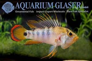 Apistogramma baenschi (= Inka I) - Aquarium Glaser GmbH