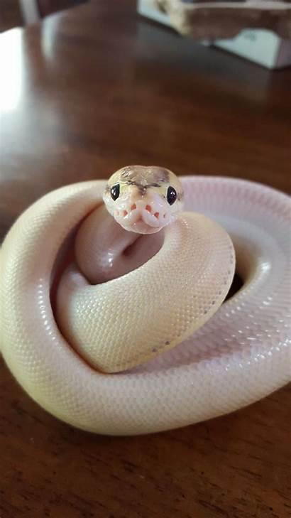 Snake Snakes Animals Snek Pretty Wattpad Reptiles